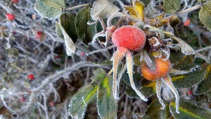 The berries of wild rose covered with frost royalty free stock image
