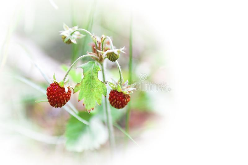 Berries of wild strawberry in natural conditions.  royalty free stock images