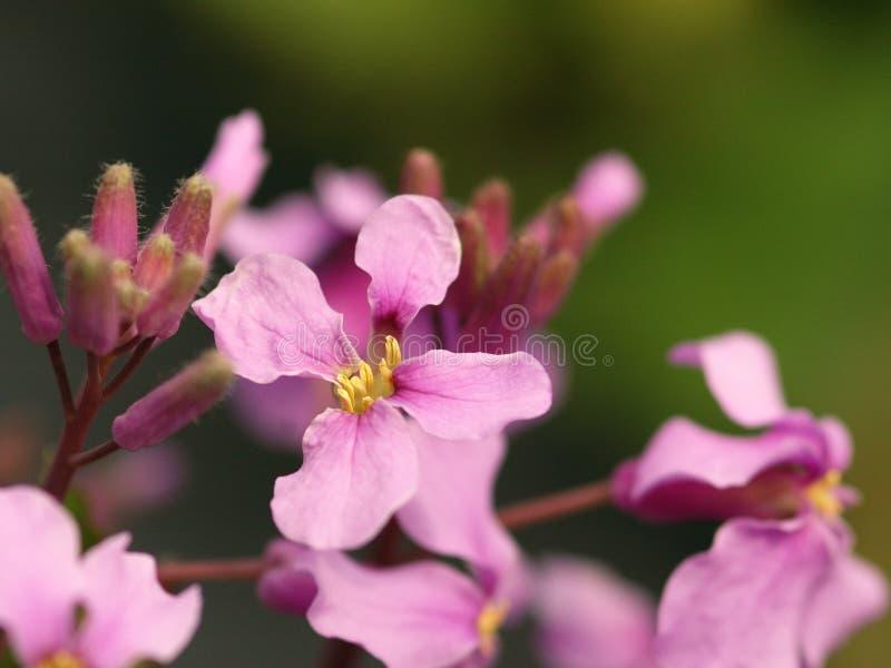 Berro violeta chino imagen de archivo