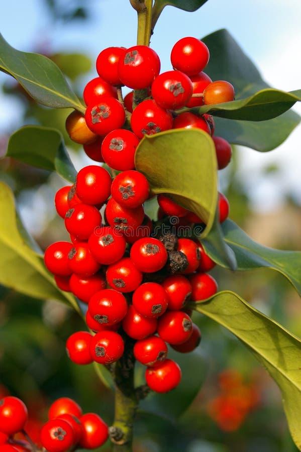 berry 01 uświęcona fotografia stock