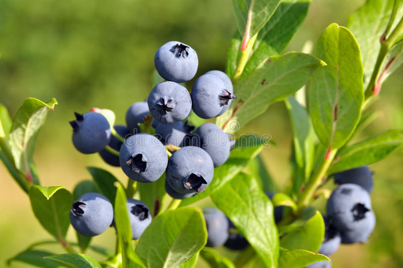 The berry of blueberry on bush royalty free stock photography