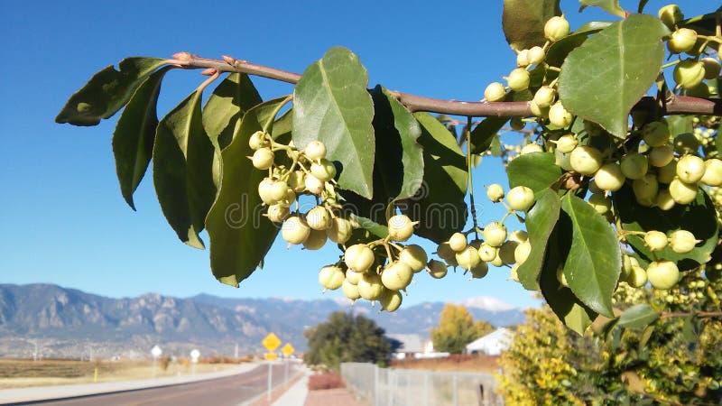 Berry Branch immagine stock