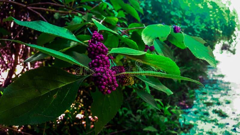 Berry Bush. A berry Bush on a path stock images
