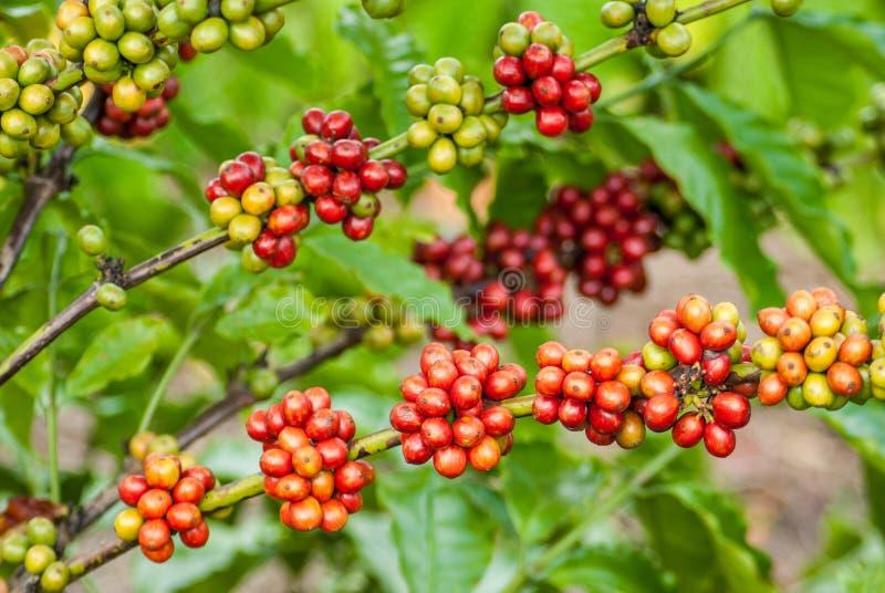 Berry Coffee fotografia stock libera da diritti