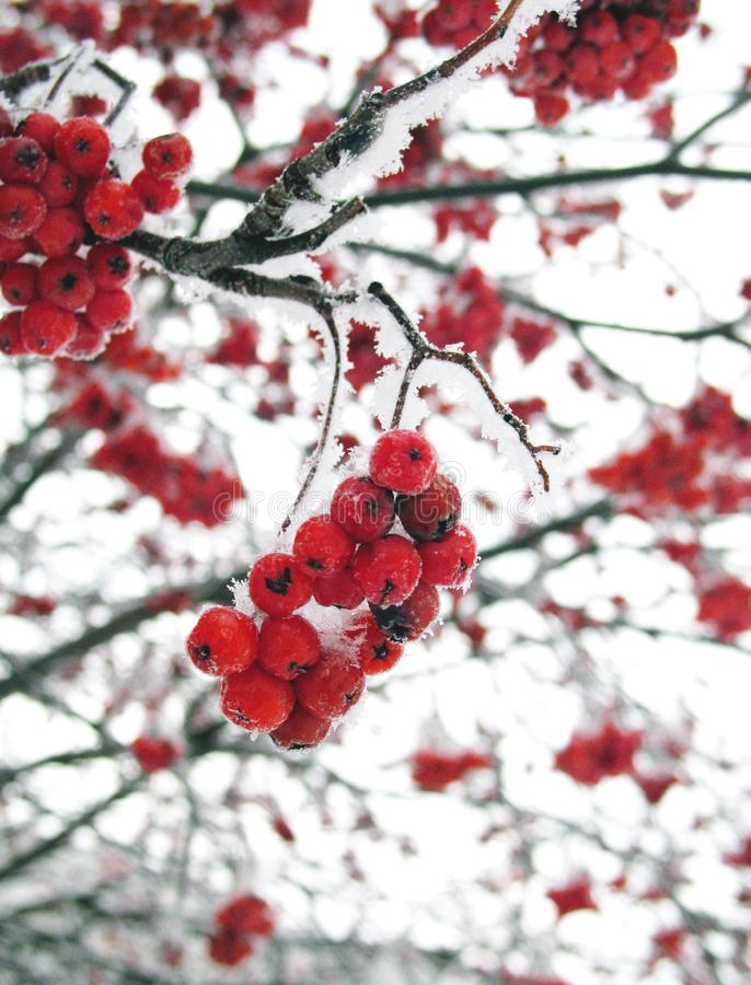 Berry in the cold, mountain ash in winter, mountain ash in the cold, red mountain ash and white snow, Rowan branch. Frost, berry in the cold, mountain ash in royalty free stock images