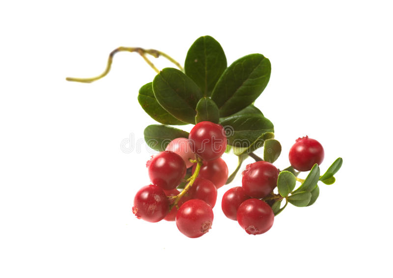 Berry cowberry. Isolated on a white background stock photography