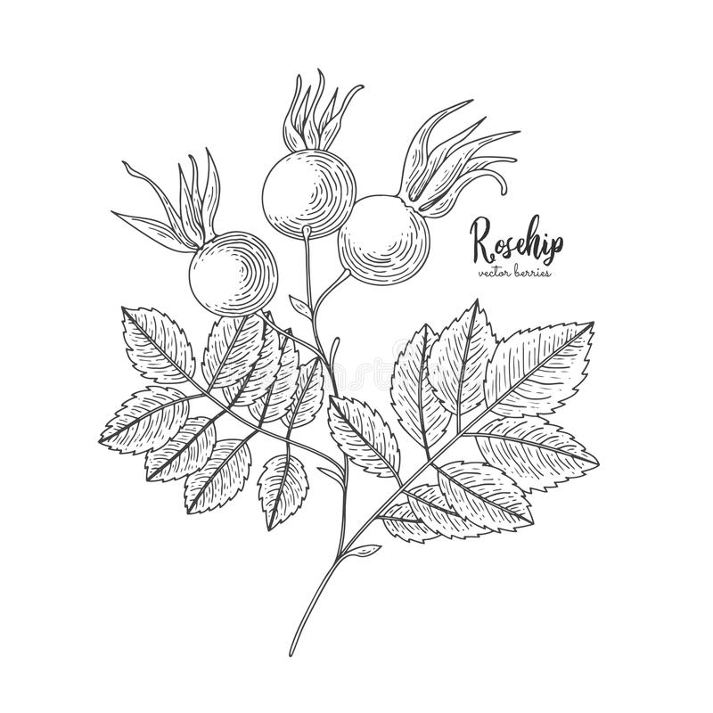 Berry engraving illustration with rosehip. Dog rose. Hand drawn elements for invitations, greeting cards, wrapping paper stock illustration