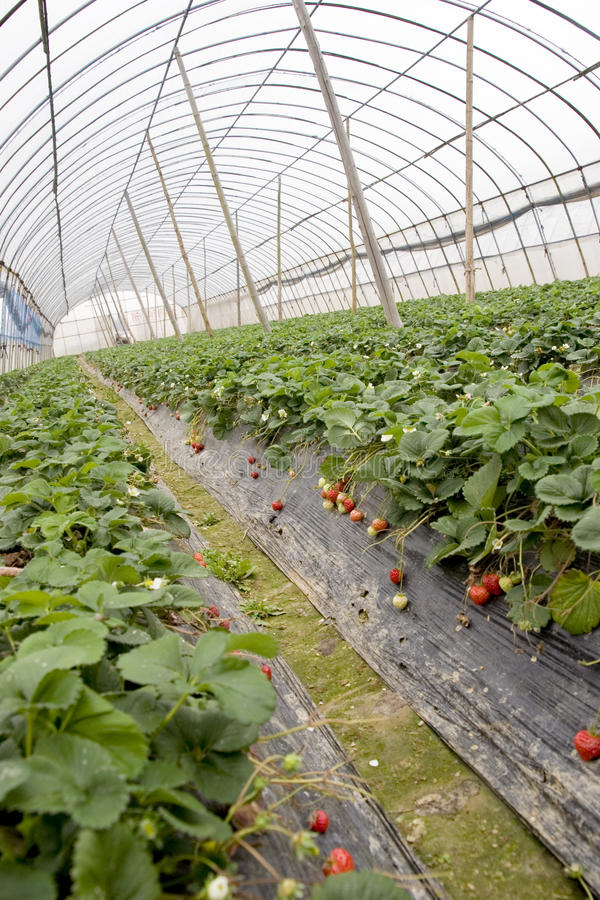 Download Berry Field Tent Stock Photo - Image: 14069650
