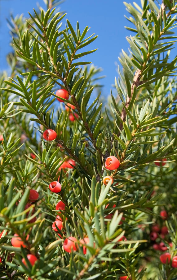 Berry on fir royalty free stock photo