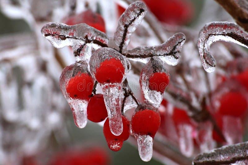 Berry, Freezing, Winter, Macro Photography stock photo