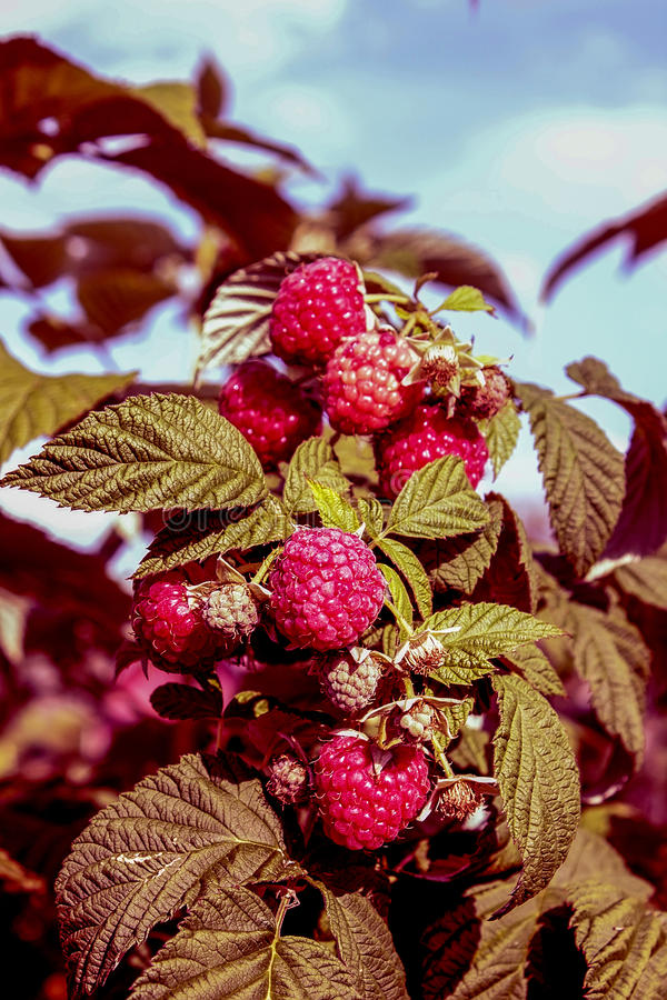 Berry garden. Raspberry red ripe large branch and leaves green stock image