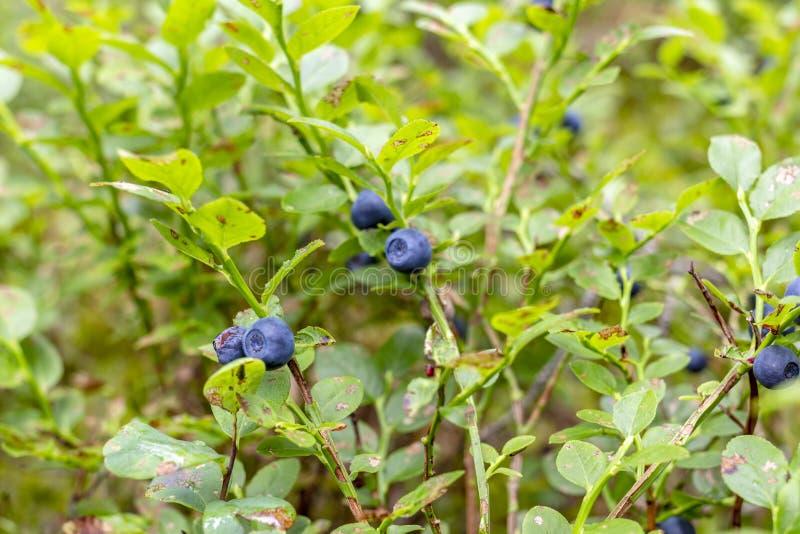 Berry, mirtilo Natural, na natureza Produto ecológico Amoreira selvagem imagem de stock royalty free
