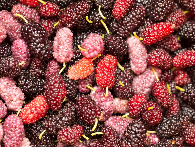 Berry mulberry trees as a backdrop. macro royalty free stock photo