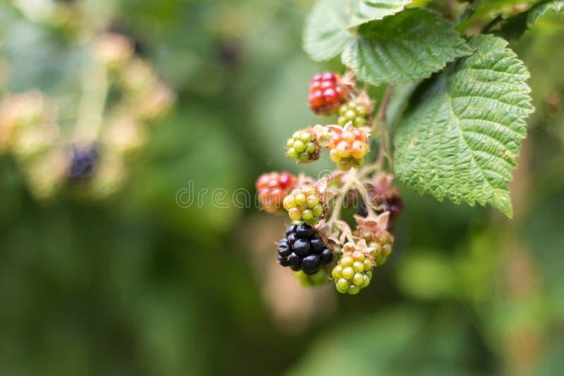 Berry Plant negro imagen de archivo