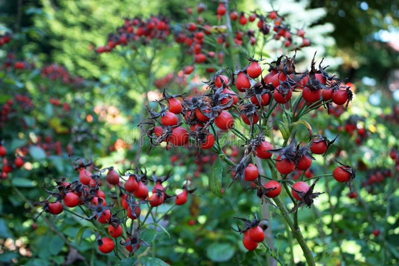Berry Plant royalty free stock images