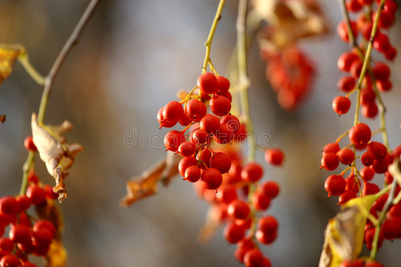 Download Berry Pretty stock photo. Image of hanging, plant, garden - 1478974