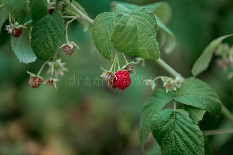 Berry Ribbed Red Raspberries Frutti di estate fotografie stock