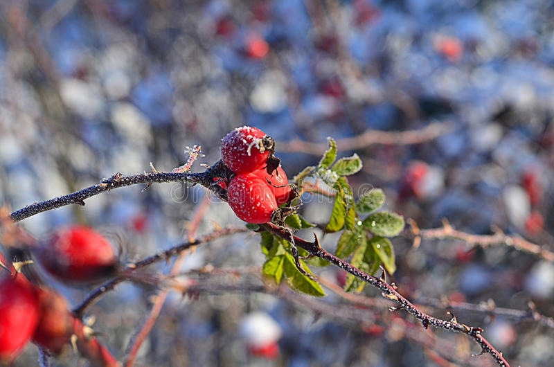Berry rosehip stock images