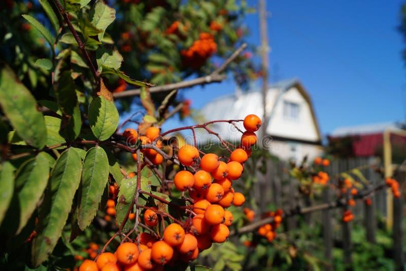 Berry Rowan immagini stock