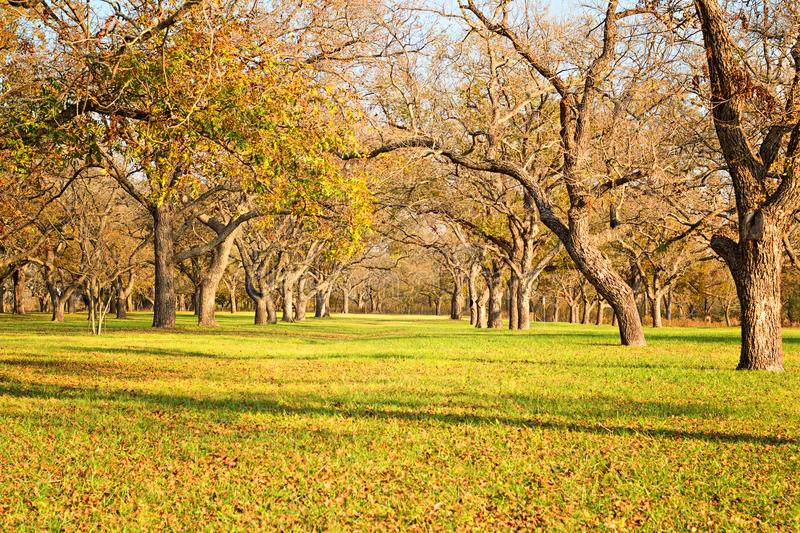 Berry springs pecan trees. Rows of pecan trees at berry springs park in the fall photo taken November 16, 2017 stock image