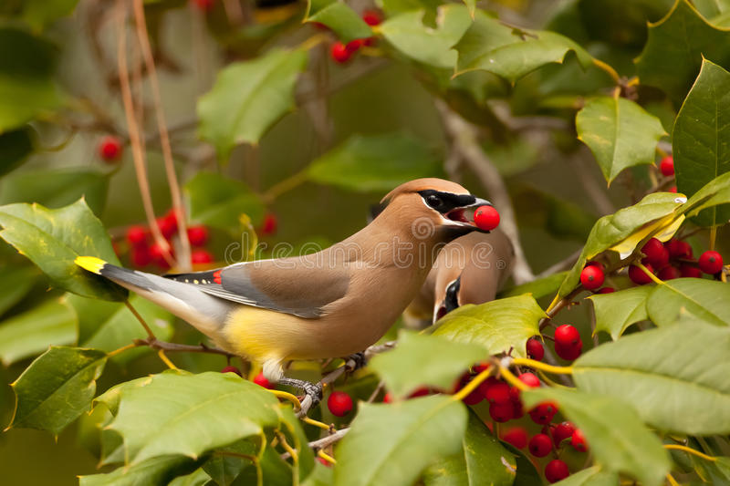 Berry Time. A pretty Cedar Waxwing eating a Holly Berry while perched in a tree stock image