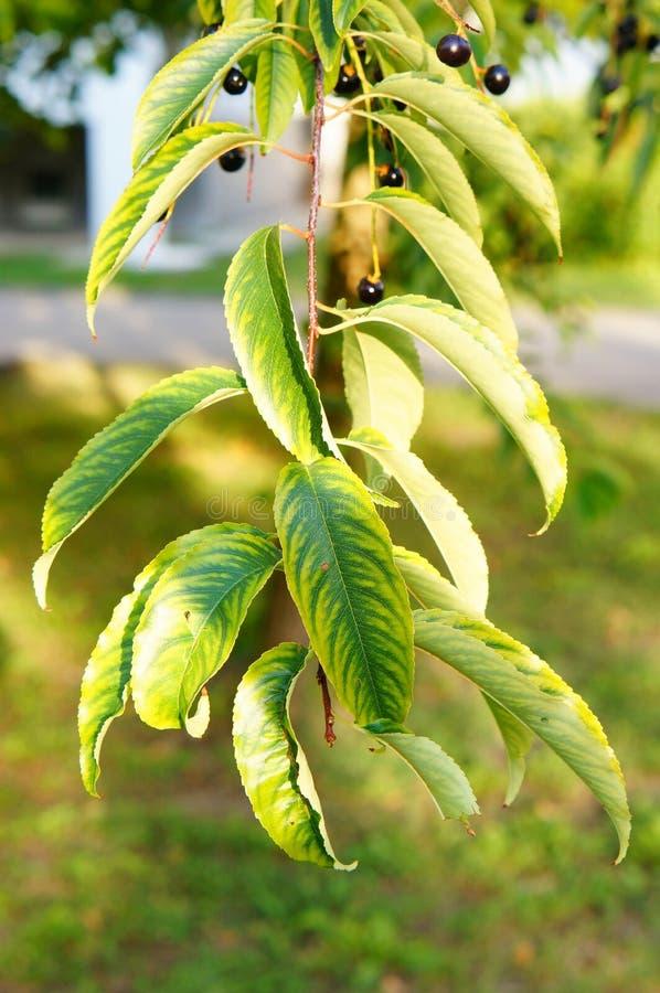 Berry Tree fotografie stock libere da diritti