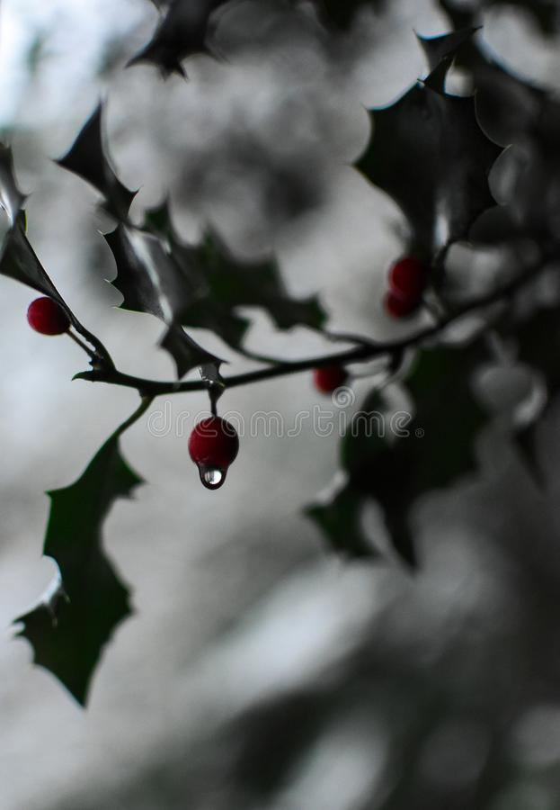 Berry Water Drop. Water drop on winter holly berry stock photos