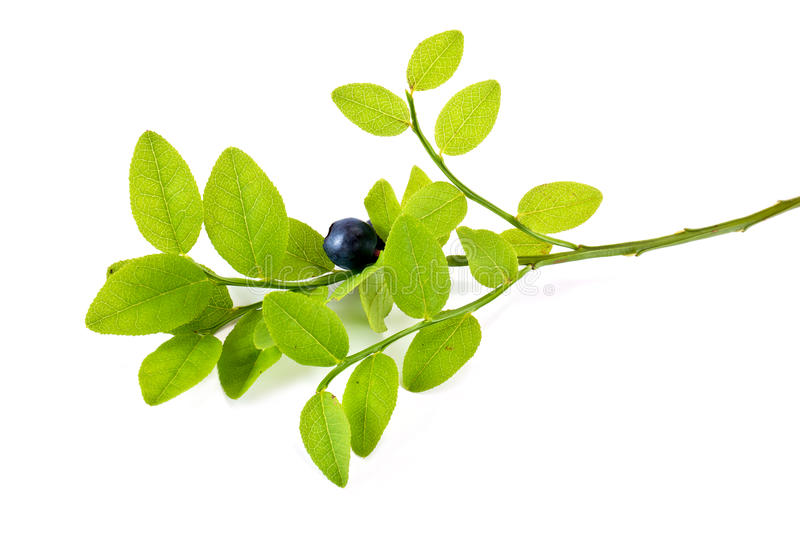 Berry of whortleberry royalty free stock photo