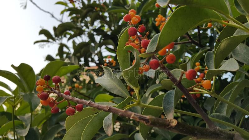 Berrys arancio nel verde fotografia stock libera da diritti