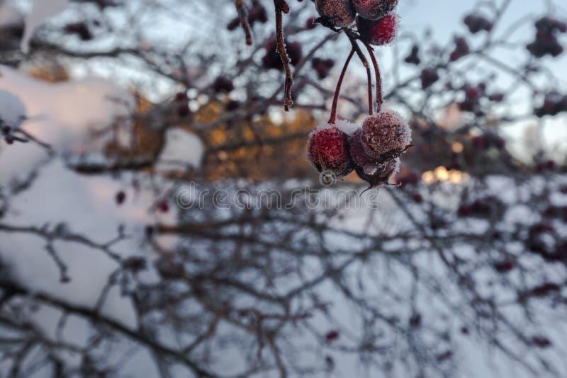 Berrys congelados durante o inverno fotos de stock royalty free