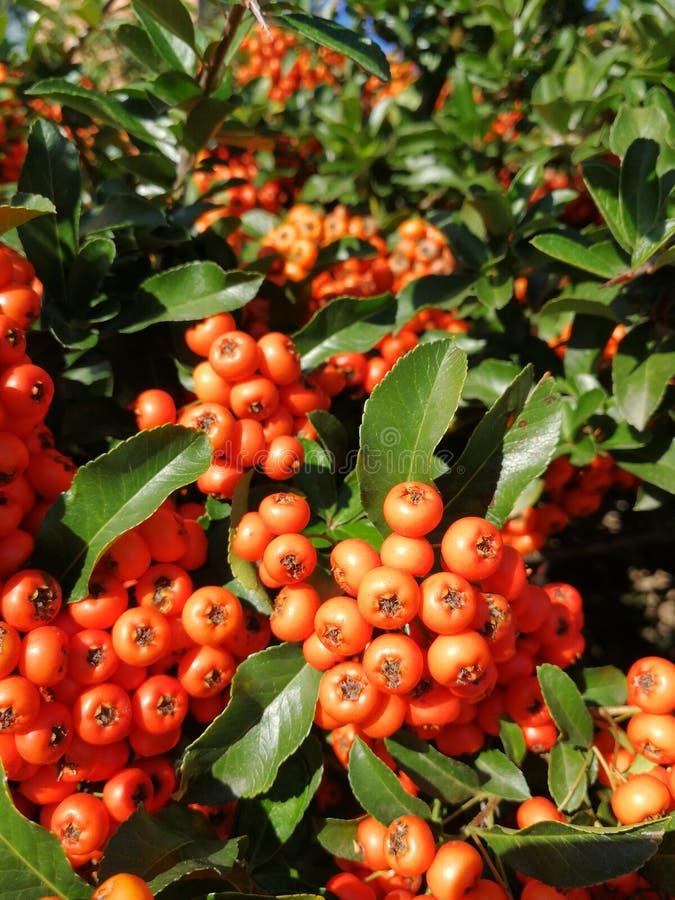 Berrys obrazy stock