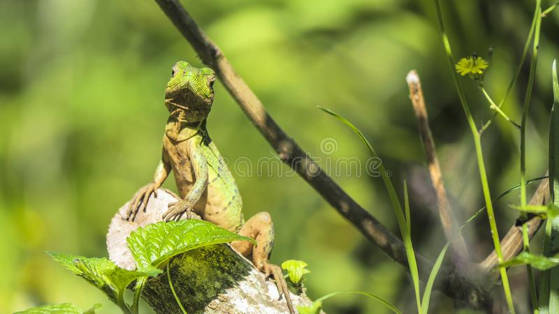 Berthold`s bush anole sitting on a piece of wood. `Berthold`s bush anole`, a green lizard [Polychrus gutturosus], sunbathing on a piece of wood, looking directly stock photography
