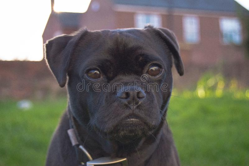Bertie posing for his photo royalty free stock photography