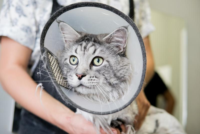 Berufs-Maine Coon Cat Grooming-Nahaufnahme lizenzfreie stockfotos