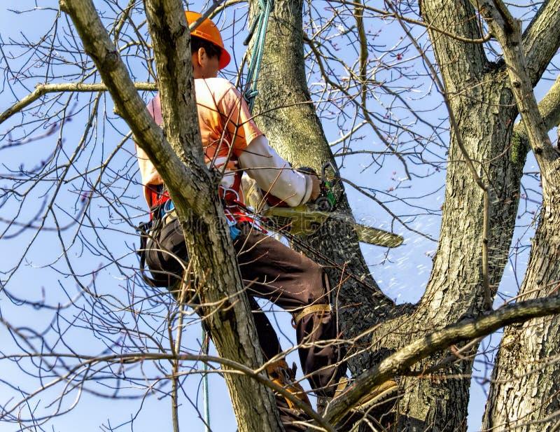 Berufshoch im Baum, der Glieder entfernt stockfotografie