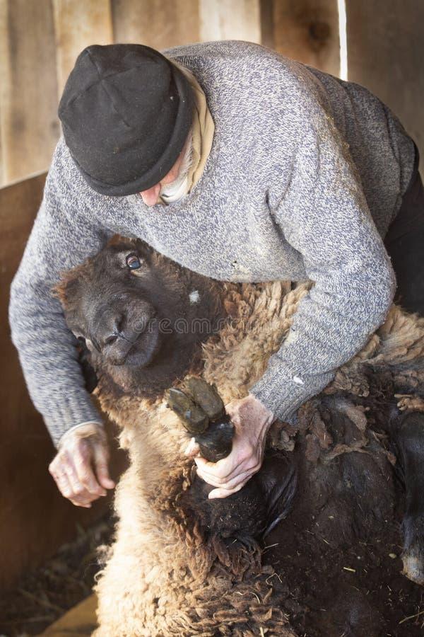 Berufsschafscherer, der mit Schafen in einer Connecticut-Scheune wringt lizenzfreies stockbild