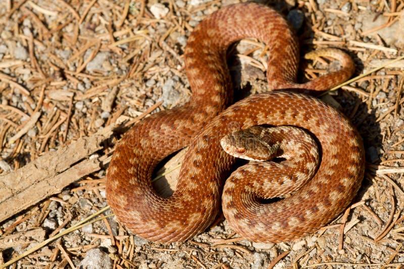 berus蝰蛇属 免版税库存照片