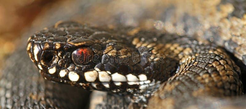 Berus común del Vipera de la serpiente imagenes de archivo