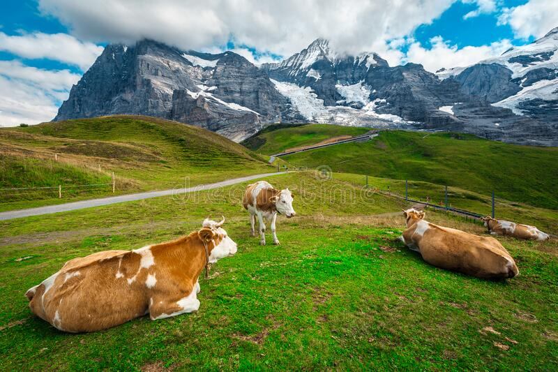 Besättning av kor på grönområden, Bernese Oberland, Schweiz fotografering för bildbyråer