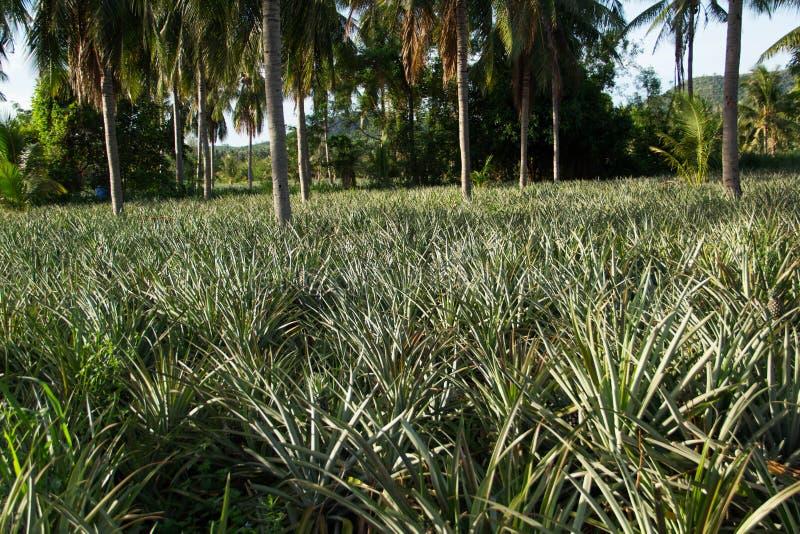 Besöka ananasträdgården i morgonen royaltyfria foton