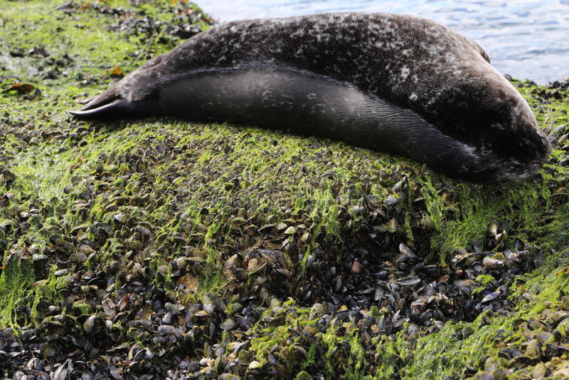 Besöka Vancouver och se gulligt för att behandla som ett barn sjölejon och förtjusande skyddsremsor som sover på stranden arkivfoton