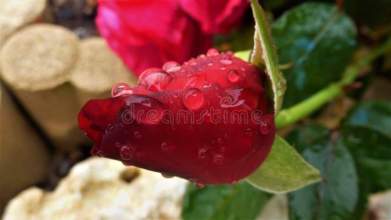 Bes, Frutti Di Bosco, Fruit, Bloemblaadje royalty-vrije stock foto