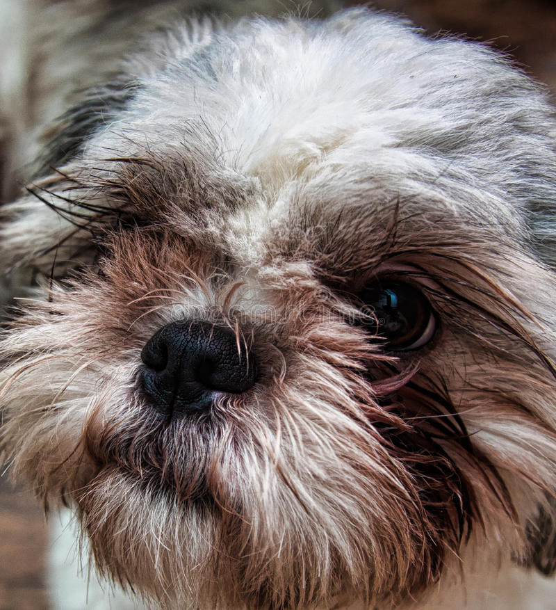 Bes the shih tzu. Our shih tzu pup bess royalty free stock images