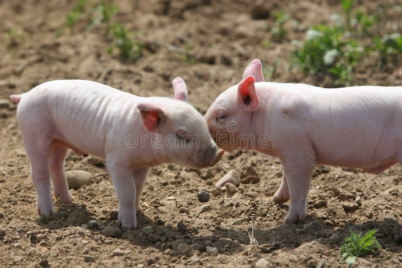 Besar cerdos imagen de archivo libre de regalías
