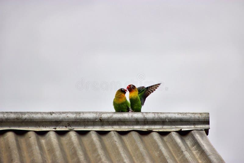 Besar pájaros del amor fotos de archivo
