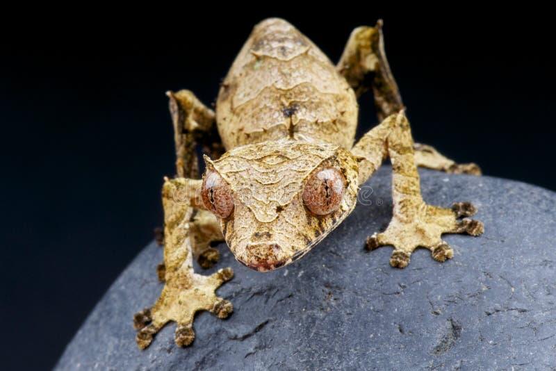 Besatt Blad-tailed gecko-/Uroplatus phantasticus fotografering för bildbyråer