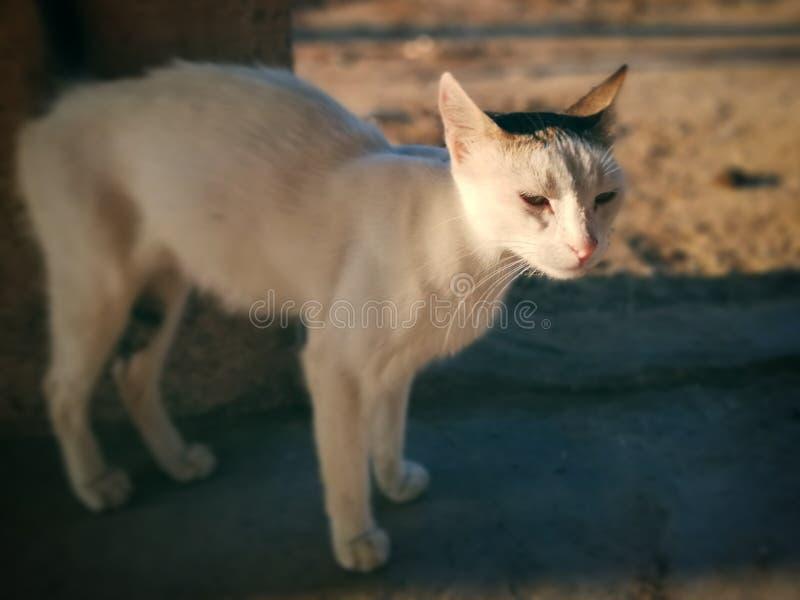 Besbesa katten royaltyfri bild