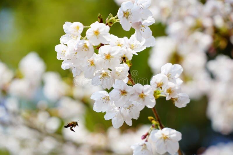 Beschäftigte Biene auf Frühling lizenzfreie stockbilder