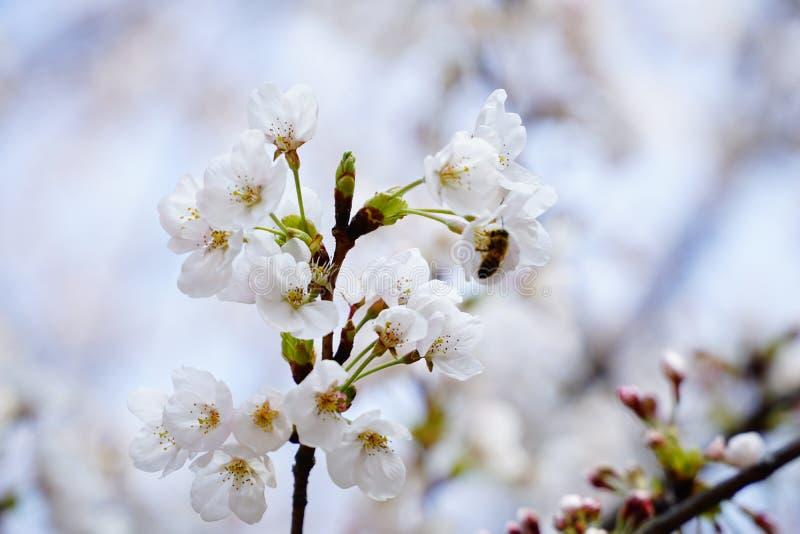 Beschäftigte Biene auf Frühling lizenzfreie stockfotos