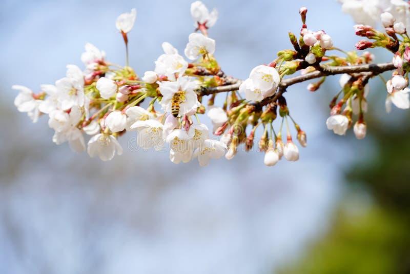 Beschäftigte Biene auf Frühling stockfotografie